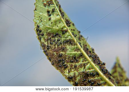 Many aphids on a cherry tree leaf
