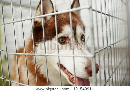 Sick husky dog behind cage bars