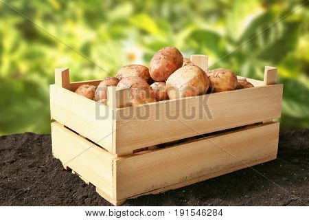 Fresh potatoes in wooden crate on ground and field with plants on background