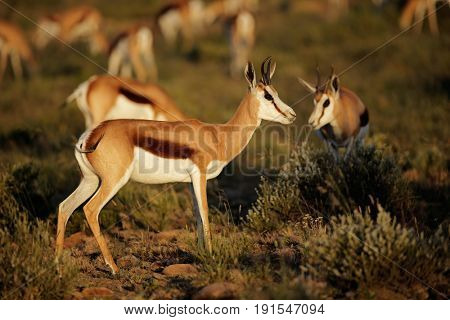 Springbok antelopes (Antidorcas marsupialis) in natural habitat, South Africa