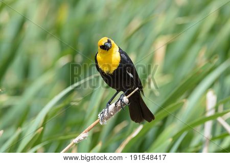 Yellow-headed blackbird clinging to a cat tail with a curious expression.