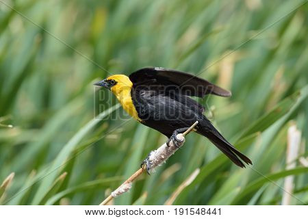 Yellow-headed blackbird clinging to a cat tail about to take off.