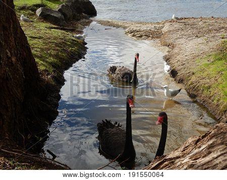 a group of black swam in rotorua lake, new zealand