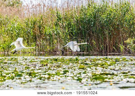 Landscape photo of flying white swans in Danube Delta
