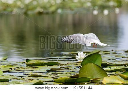 Common tern landing on the floating water lily leaves