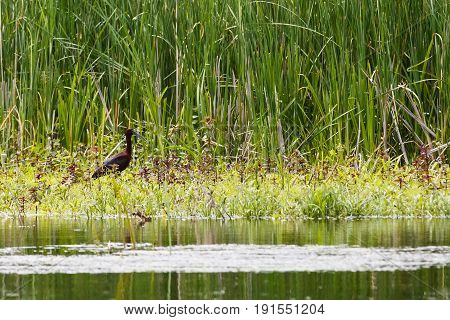 Landscape photo of walking glossy ibis in shallow water