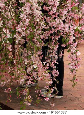 Couple hidden in cherry blossom with only legs visible. Springtime and romantic.