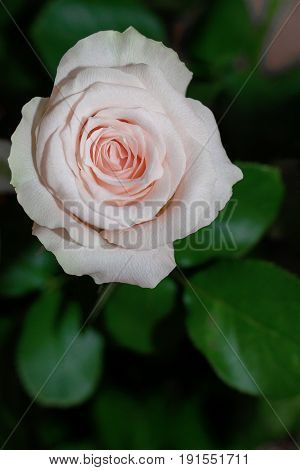 One rose flower with green leaf on the blur background. Rose photo. Beautiful summer flowers.