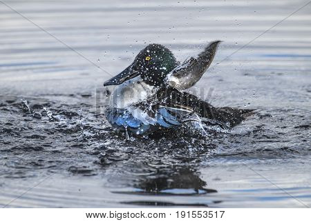 Shoveler Preening Itself On A Loch In Scotland