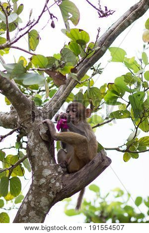 young cub of rhesus monkey sits on a tree holding on to a branch and eating a pink flower