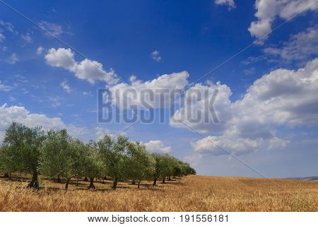 RURAL LANDSCAPE SUMMER. Between Apulia and Basilicata: hilly contryside with cornfield and olive grove dominated by blue sky with clouds,(Italy).