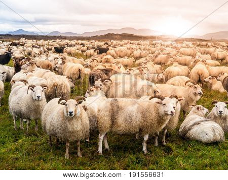 Large herd of sheeps at sunset time, Iceland.