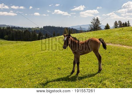 Horse colt on green pastures in mountains