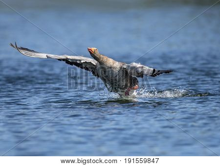 Greylag Goose Flying From A Scottish Loch