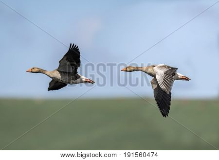 Greylag Geese Flying Across The Sky, Close Up