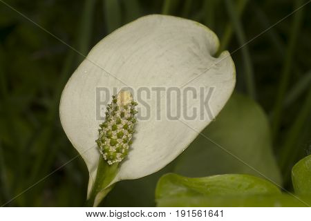 shot of flower of calla palustris (bog arum)