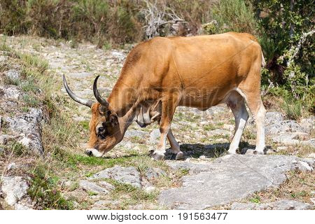 Bull cow on pasture, Portuguese mountain longhorn cattle, Cows in wild