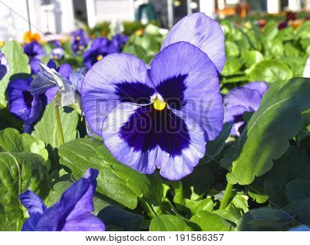 BLUE AND MAUVE VIOLAS IN FULL BLOOM 24sdr