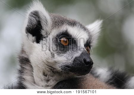 Ringtailed Lemar, national park in Anna Paulowna, the Netherlands