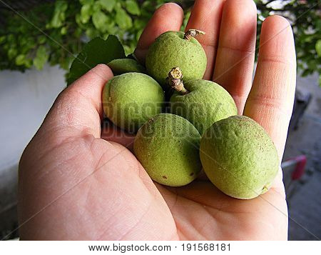 Unripe apricot, raw apricot, very sour raw apricot pictures, a handful of apricots, apricot tree green raw apricot fruit