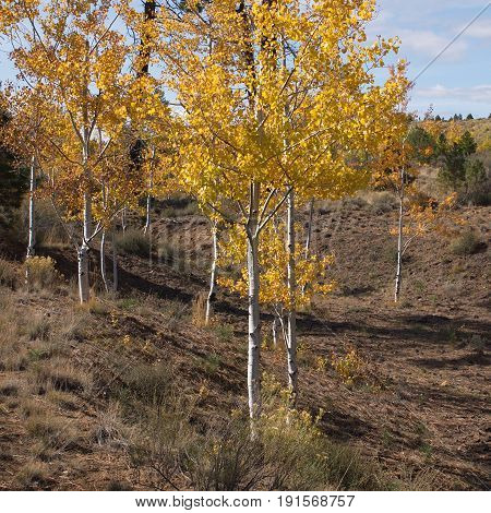 Aspen trees that have beautiful golden leaves sit in a gully in Central Oregon on a sunny fall day.