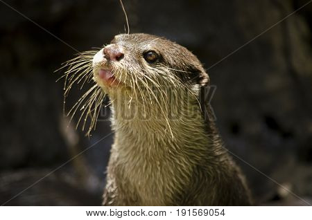 this is a close up of a small Asian otter sticking out his tongue