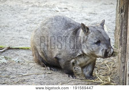 this is a close up of a common wombat