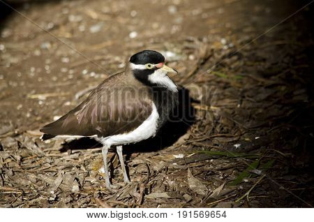 this is a close up of a banded lapwing