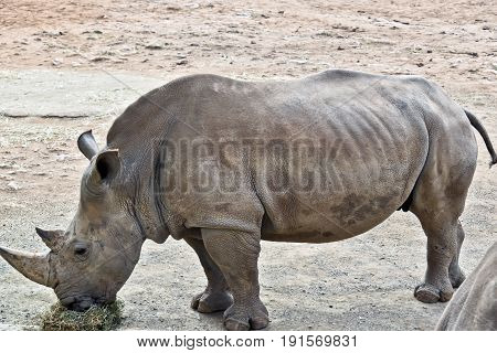 the white rhinoceros is eating straw and lucerene