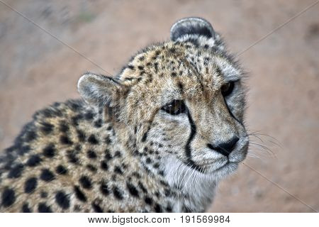 this is a close up of a cheetah