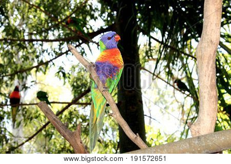 Australian Rainbow Lorikeet at Cleland Wildlife Park
