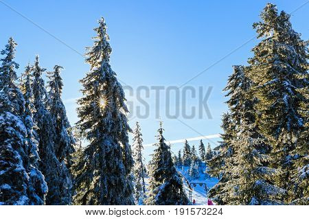 Photo of snowy pine tree in wintertime