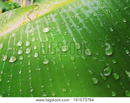 Rain drops on banana leaf