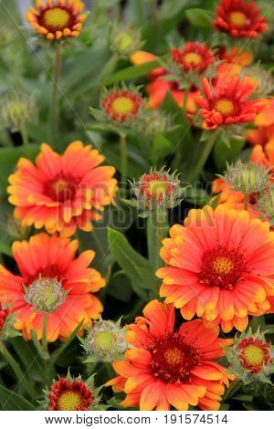 Vertical image of beautiful orange and yellow flowers set in landscaped garden.