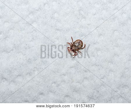 Wood tick, dog tick, pulled from human host.  A piece of human host skin attached to insects jaws.  Disease carrying pest.