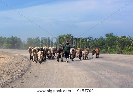 Farmer herding cattle herd walking along the roads with dust in rural of Asia country.