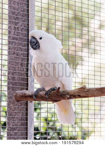 Large white-cocked cockatoo -Cacatua alba - Plyctolophus alba - sits on a crossbar near the grid at the Gan Guru Zoo in Kibbutz Nir David in Israel