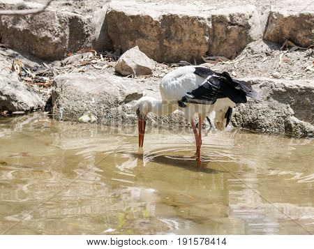 White Stork -  Ciconia Ciconia - Walks On A Sunny Afternoon On A Pond Near The Shore In Search Of Fo
