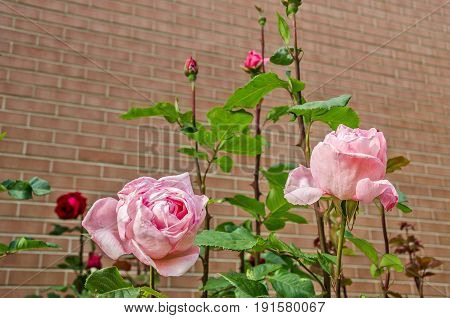 Pink roses against a brick wall with room for your message