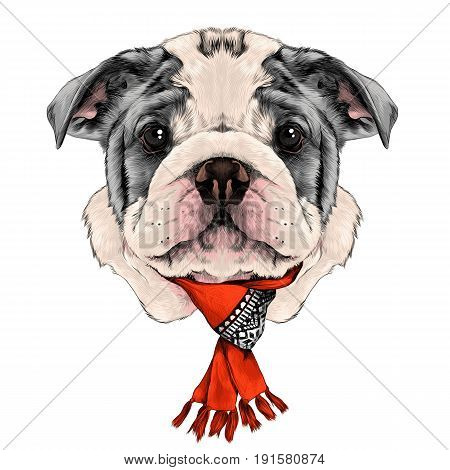 dog breed American bulldog head with white and gray color with a Christmas scarf on the neck sketch vector graphics color picture
