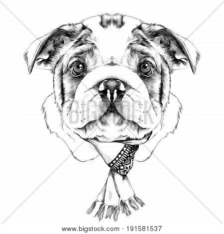 dog breeds American bulldog head with a Christmas scarf on the neck sketch vector graphics black and white drawing