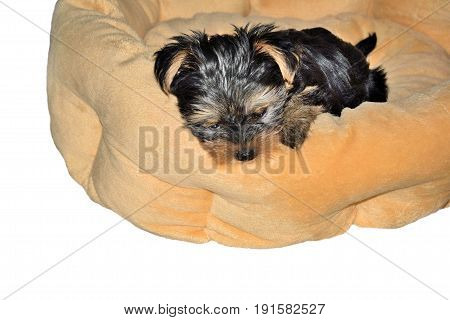 Yorkshire Terrier little pup lying on the orange dog bed