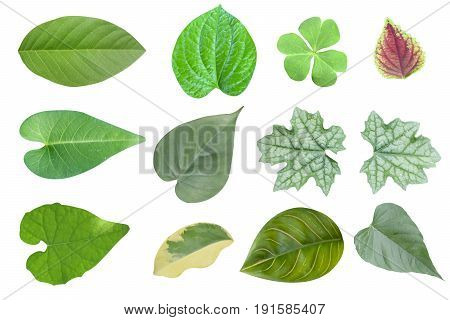 fresh green leaves plant on white background
