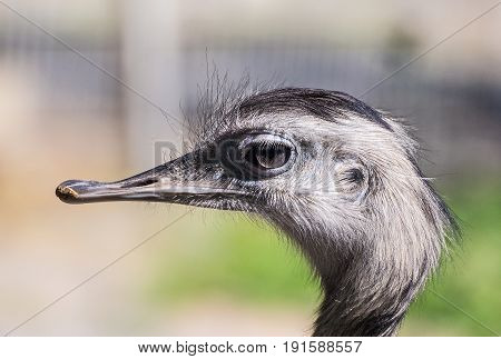 Close up photography of a gray Nandu