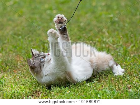 a ragdoll cat playing in the garden