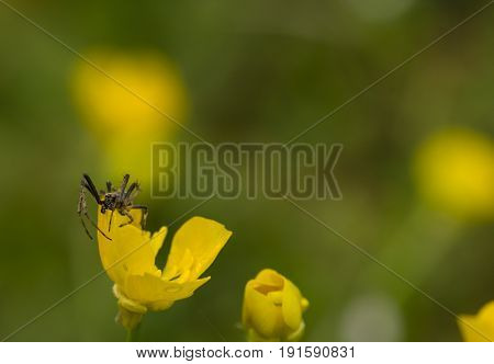 Black and brown spider on yellow flower