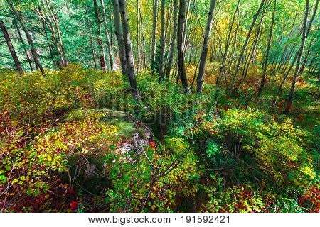 The deciduous wood with green and yellow trees. High trunks and dwarfish birch.