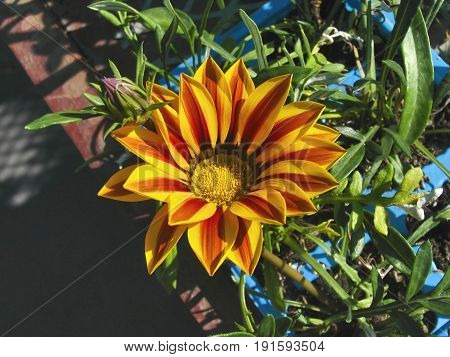 Gazanias are a genus of flowering plants in the family Asteraceae, native to Southern Africa