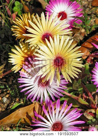 Vygies or Mesembryanthemum, is a genus of flowering plants indigenous to southern Africa