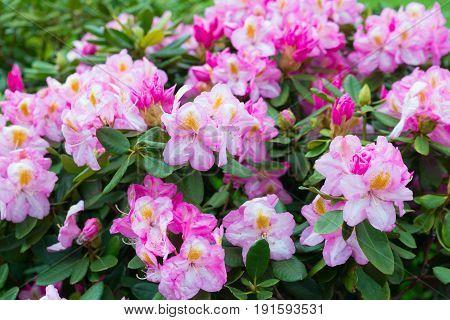 pink flowers Rhododendron azalea flowers May 2017 Krakow Poland.